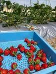 屋上菜園 苺